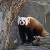 Red Panda at the National Zoo