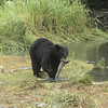 Black Bear with Pink Salmon