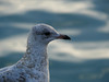 Seagull on Navy Pier.