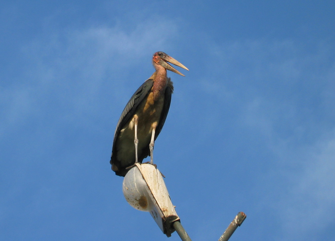 The Marabou Stork aka Leptoptilos crumeniferus. Very ugly but BIGGEST bird I ever saw. It has a weight of nearly 9 kg.