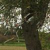 De pruimenboom bij de Menhirs van Oppagne is een zogenaamde koortsboom of lapjesboom