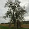 Menhirs van Oppagne onder een oude pruimenboom