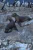 Ushuaia - Harbour and Beagle Channel Tour - Island with Seals and Cormorants 016