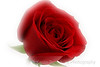 I Love You Dark Red Rose