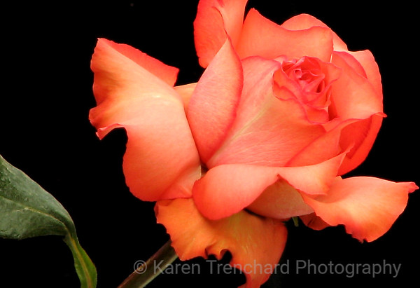 Peach Colored Rose