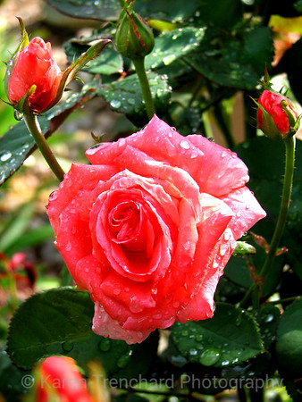 Red Rose Garden with Dewdrops