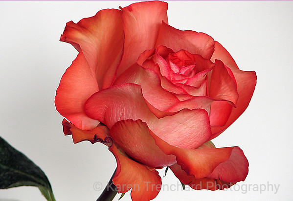 Peach Rose White Background