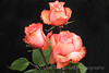 Three Peach Roses