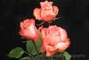 Three Peach Roses