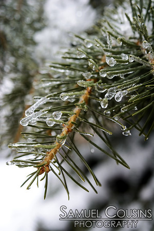 Ice and snow on a pine tree in Post Office Park