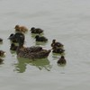 Mama Duck + 15 ducklings
