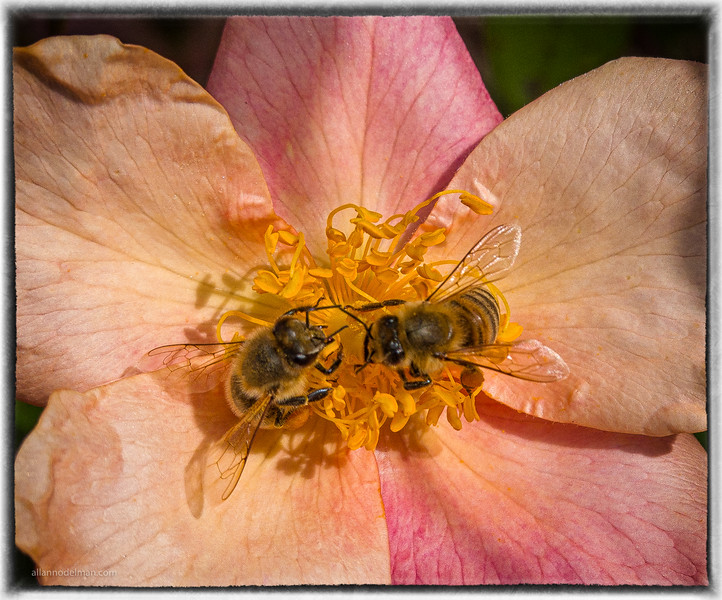Tandem Bees Working a Rose in Beacon Hill Park