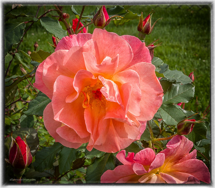 Rose Garden In Beacon Hill park