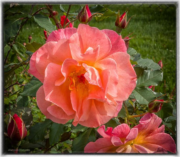 Rose Garden In Beacon Hill park