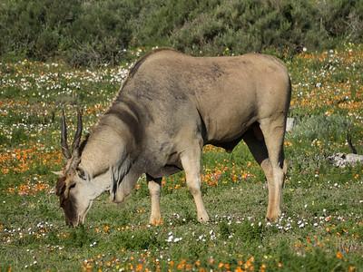 Eland in Postberg reserve