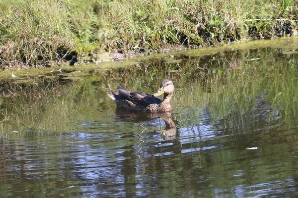 Duck at Tebay Services<br /> 17 September 2016