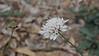Scabiosa atrupurpurea (Pincushion)