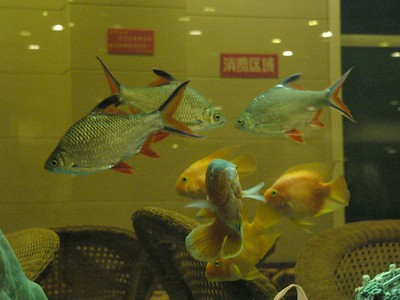 04Oct05_1531 A picture of some fish in an aquarium at ChangNingGong resort.