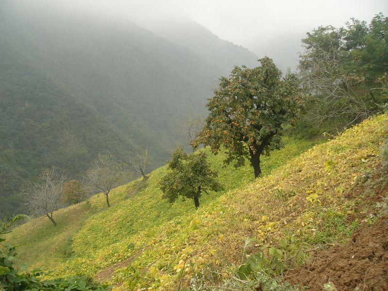05Oct05_1539 Persimmon trees at LouGuanTai