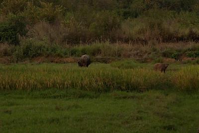 Water buffalo near Egg