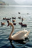 bled - geese on lake (3)