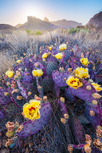 Purple Prickly Pear in Full Bloom, Big Bend