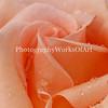 Bonnie's Rose