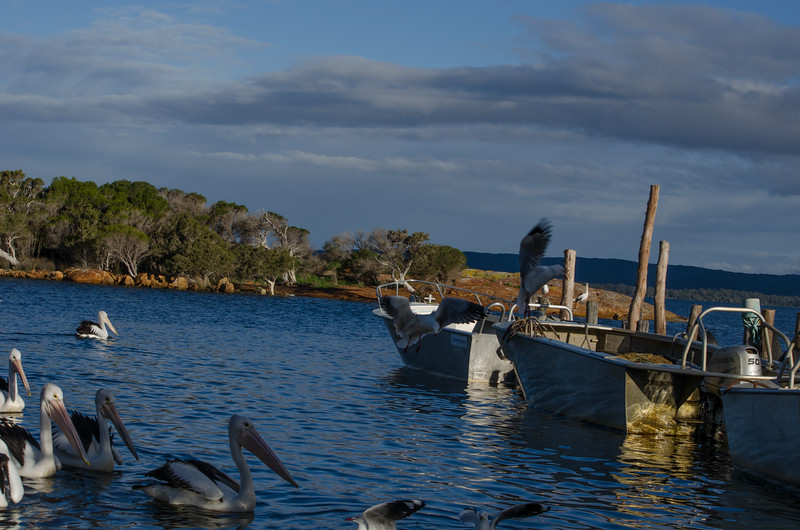 Pelicans and Gulls with fishing boats at Crusoe Beach; Wilson Inlet