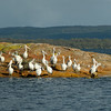 Pelicans at Crusoe Beach; Wilson Inlet: WA