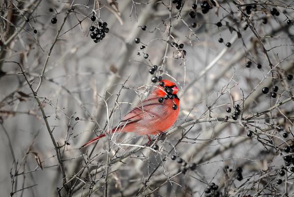 Cardinal and berries