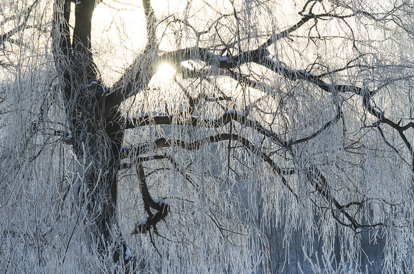 Icy sunrise through Weeping Willow