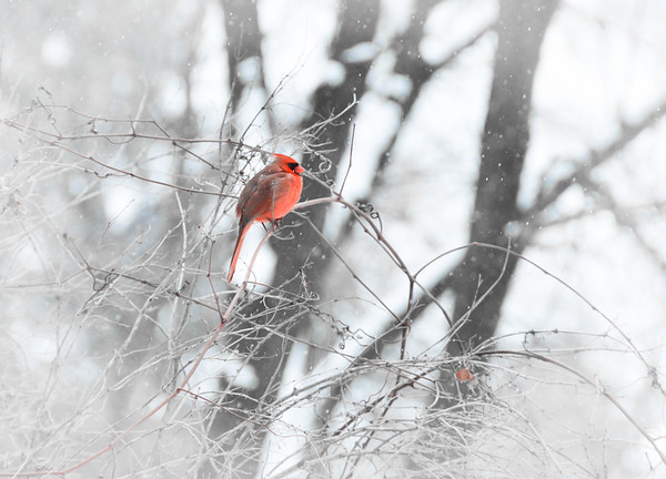 Cardinal in a flurry