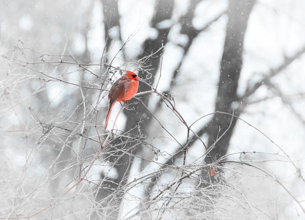 Cardinal in a flurry