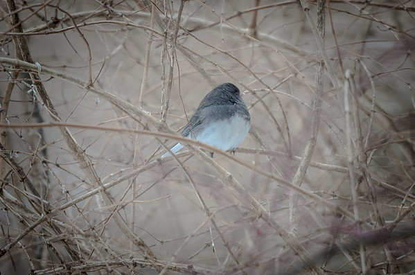 Dark-eyed Junco in bare branches