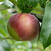 Hollis Hills Farm apples are ready to be picked on Friday September 24, 2021 in Fitchburg. SENTINEL & ENTERPRISE/JOHN LOVE