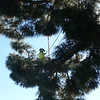 Workers had to climb the tree in order to use a rope and tackle system to lower the branches.