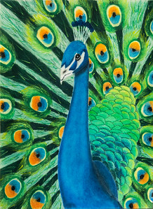 "6 Peacock, oil pastel drawing, 22"" x 16"""