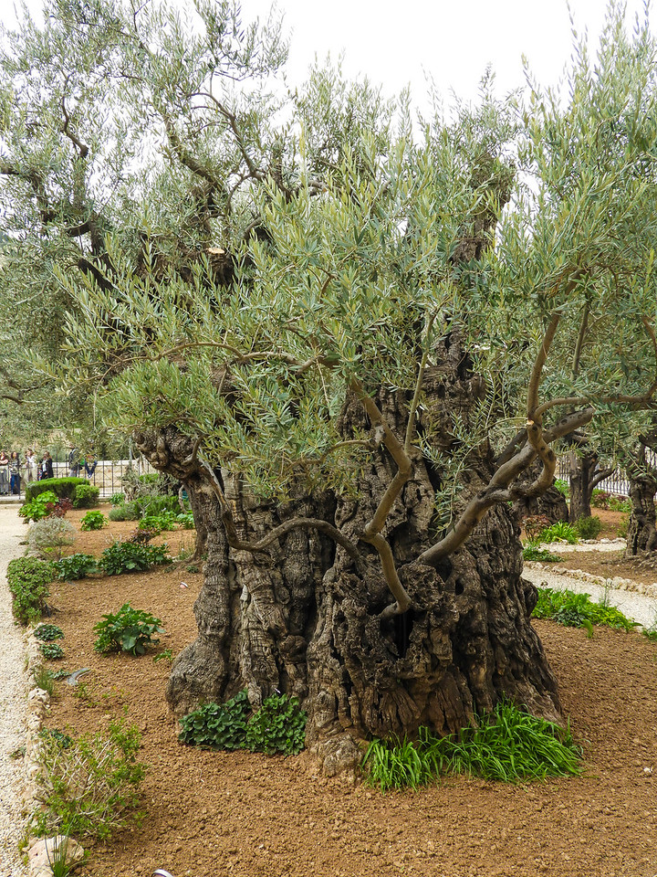 Ancient olive trees in the Garden of Gesthemene