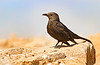This might be a Black Bush-robin... at the top of Masada.