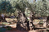 One of many old and beautiful olive trees in the Garden of Gethsemane. As the trees continue to grow on the outside, they die in the center.
