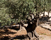 Olive tree in the Garden of Gethsemene