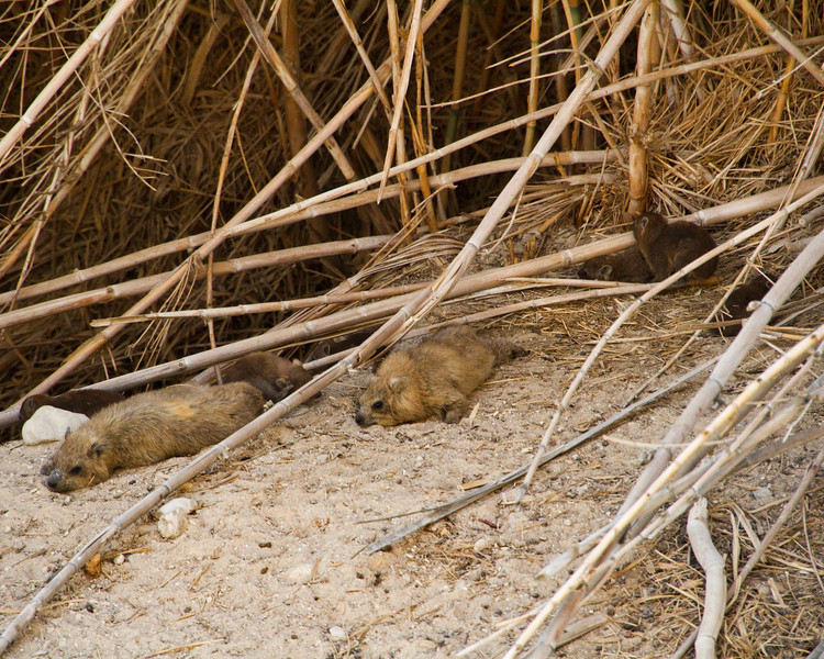 In the desert is the oasis known as Ein Gedi. Hiking to the top of Ein Gedi we saw this family of Hyrix, a beaver like rodent with a tali like a rat.