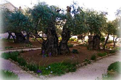 April The Agony Garden on the  Mount of Olives