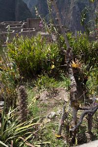 Dat Machu Picchu zou zijn gebouwd om coca te kweken wordt hier een beetje ontkracht. Dit coca plantje schijnt niet echt goed te gedijen.