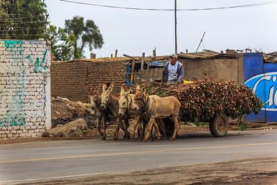 Dag 6: LIMA-ICA  Busrit naar Ica 400km, 6h. Koffiepauze onderweg. Lunch in 'Las Dunas Resort'. (de eerste ezel zal niet veel zien)