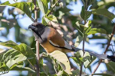 Rufous treepie of rosse boomekster