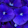 """Blue and Purple Joy"""