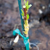 "In March 2009, I bench grafted ""Saturn"" peach on the ""Mariana 2624"" rootstock.  In five weeks, the peach had sprouted leaves, and I planted it where it was supposed to go."