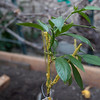 May 2013: I grafted two varieties of Cherries together; this is the growth after one month.