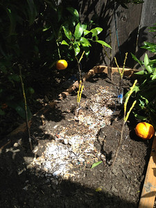 April 2013: I bench-grafted about 32 varieties of apples, cherries, pluots, peaches and nectarines and planted them in shallow raised beds, so that I can pull them out in 6 to 12 months and transplant them elsewhere.  I'm using shredded paper as mulch.